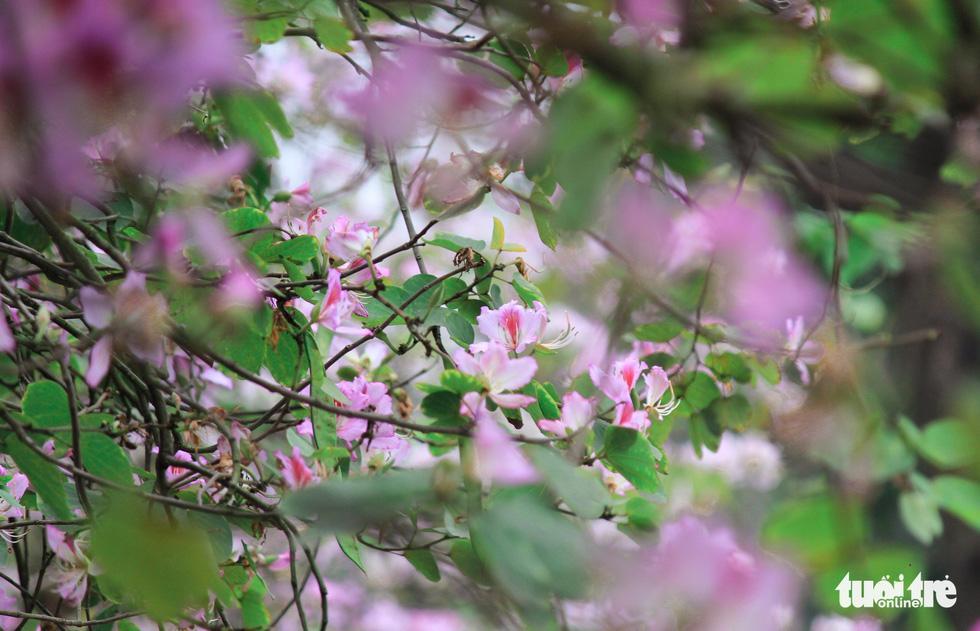 Tháng 3 hoa ban tràn về Hà Nội - Ảnh 13.