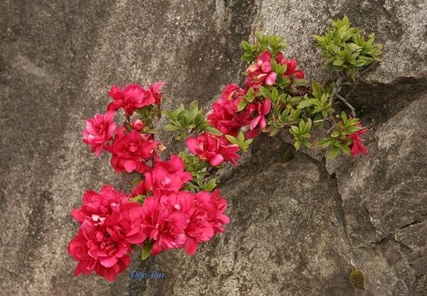 Hoa dỗ quyên tên mọt vách đá