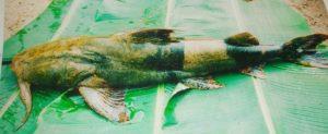 Cá này được ông chủ làm nghề bún cá Lã Vọng đánh giá ngon nhất
