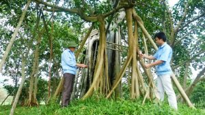 Công cuộc chăm sóc, tôn tạo cây đa Tân Trào