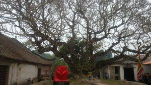 Cây di sản huyện Yên Thế