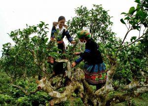 Những cô gái Mông đang thu hoạch chè San Tuyết