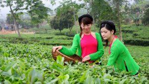 Những cô thôn nữ hái chè ở Tân Cương