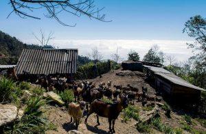 Một trại dê trên núi Chiêu Lầu Thị