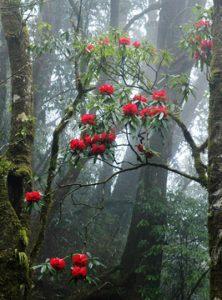 Hoa đõ quyên nở trên núi Phan Xi Păng