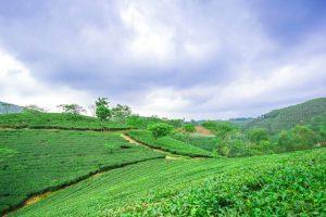 Đồi chè tươi mát xanh tít tận chân trời ở Phú Thọ