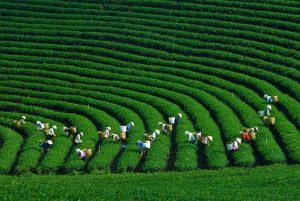 Những người dân thu hoạch chè