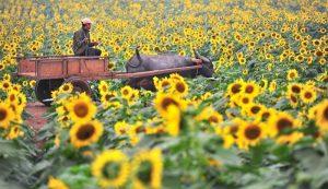 Cảnh đẹp yên bình ở vườn hoa hướng dương Nghĩa Đàn 2018