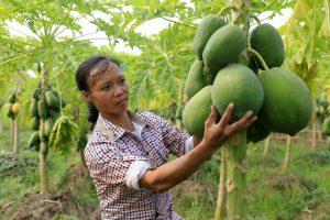 Đu đủ huyện Tam Nông