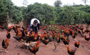 Đàn gà Yên Thế được nuôi theo tiêu chuẩn VietGap