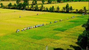 Cánh đồng lúa ở Hậu Giang