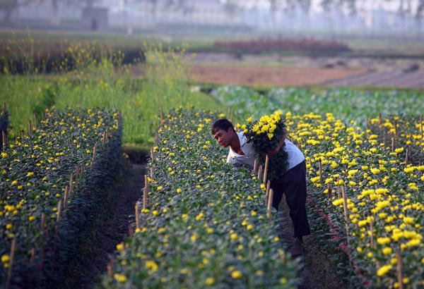 Mê linh là điểm cung cấp hoa cho khu vực Hà Nội