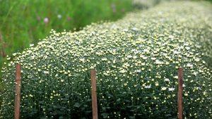 Hoa cúc làng hoa Mê linh khoe sắc
