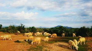 Ngắm Cừu ở Ninh Thuận