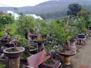Những cây cảnh được tạo hình ở làng vườn Bách Thuận