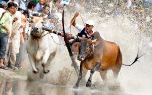 Độc đáo lễ hội đua bò bảy búi ở An Giang