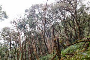 Khu rừng già ở Lùng Cúng đủ hình dáng, kểu cách