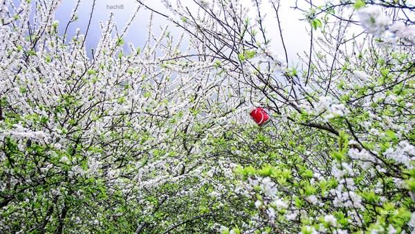 Hoa mận nở bung ngày xuân