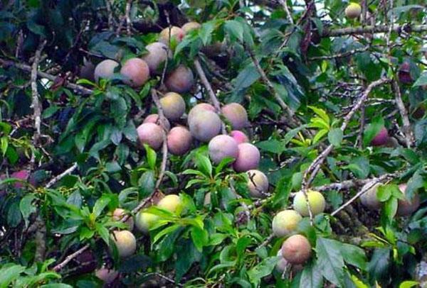 Trên cành cây khẳng khiu, mận chen lá để khoe nắng, lấy ngọt