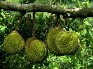 Vườn cây trái Lái Thiêu nổi tiếng ở Bình Dương