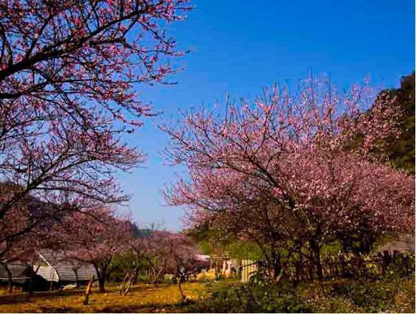 Đào nở rợp trời Mộc Châu, mang mùa xuân, sức sống đến với bản làng