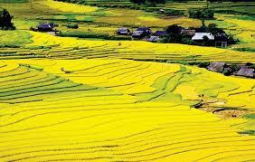 Cánh đồng Mường Thanh ngập sắc vàng giữa thung lũng