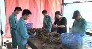 Vịnh Hạ Long là điểm nuôi cấy trai lớn nhất ở miền Bắc nước ta