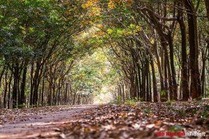 Rừng cao su Bù Đăng mùa lá đổ