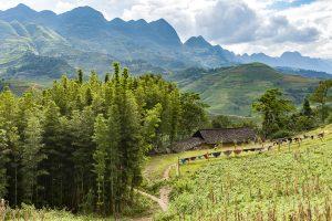 Rừng trê Yên Minh đẹp mơ màng, nó được xem là điểm nhấn nổi bật trong rừng thông