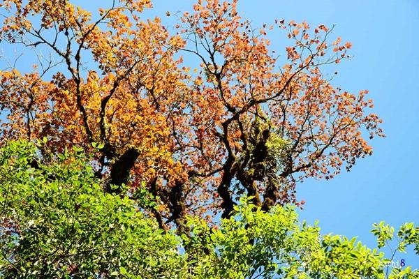 Rừng phong rụng lá đẹp như trời Tây