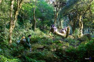 Chúng tôi gặp đàn trâu rừng trong cánh rừng nguyên sinh