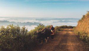 Một người dân tộc dắt trâu đi ăn trên đỉnh Tà Xùa
