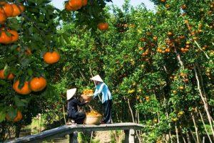 Sum suê cây trái Vĩnh Long
