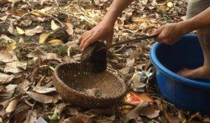 Công đoạn lên rừng thu lượn trứng kiến