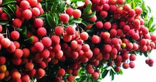 Vải thiều là đặc sản ở vùng Lục Ngạn- Bắc Giang