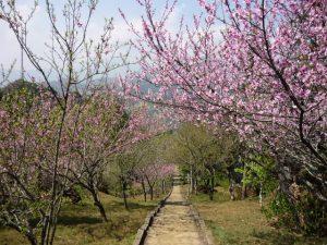 Vườn đào Phai nở rộ vào mùa xuân