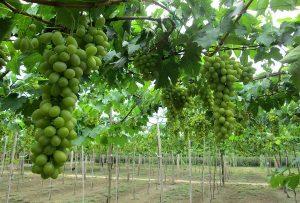 Đến vườn nho thưởng thức những quả nho tươi ngon, mọng nước