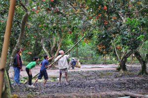Mênh mông vườn cây trái Long Khánh