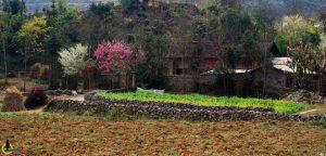 Hoa đào ở Xín Mần nở rộng ràng xuâ  sang
