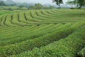 Đồi chè ở huyện Yên Sơn trải dài trên những ngọn đồi